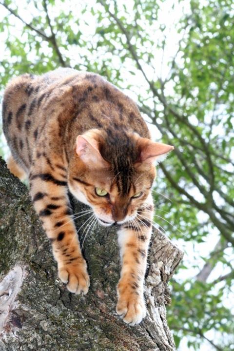 LG-SB Photographie @photographeamontpellier  nature et paysage chat du Bengale 3