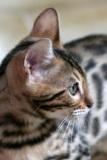 LG-SB Photographie @photographeamontpellier  nature et paysage chat du Bengale