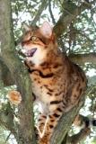 LG-SB Photographie @photographeamontpellier  nature et paysage chat du Bengale 4