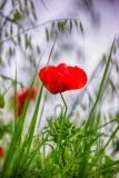 LG-SB Photographie @photographeamontpellier  nature et paysage un coquelicot
